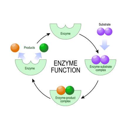 酵素機能。基板、製品、酵素製品の複合体、酵素基質複合体。医療、教育、科学的な使用のベクトル図です。