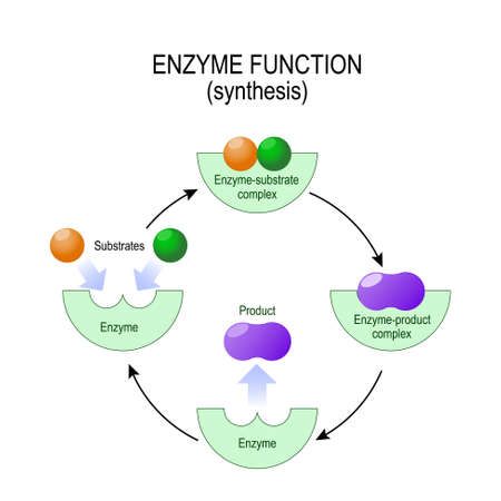 Enzyme function. synthesis. substrate, product, enzyme-product complex and enzyme-substrate complex. vector diagram for medical, educational and scientific use. Vettoriali