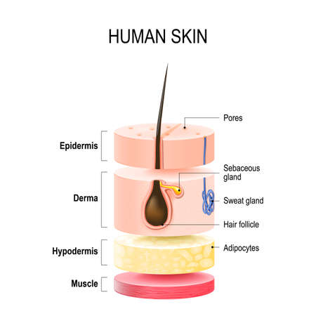 Layers Of Human Skin with hair follicle, sweat and sebaceous glands. Epidermis, dermis, hypodermis and muscle tissue. Vector illustration for your design and medical use