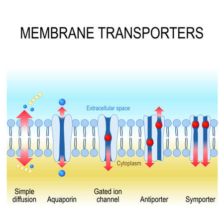 A membrane transporters: antiporter, symporter, gated ion channel, aquaporin and simple diffusion Фото со стока - 91503421