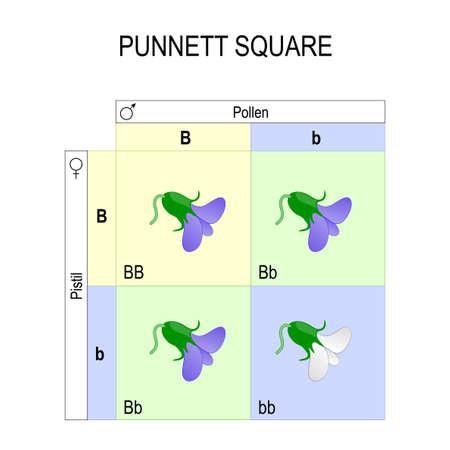 Punnett square genetics biological inheritance, for example of pea plants. Stock Illustratie