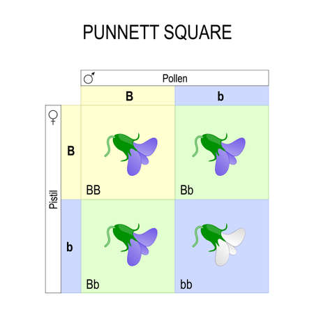 Punnett square genetics biological inheritance, for example of pea plants. Illustration