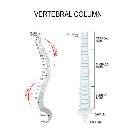 Vertebral column: cervical, thoracic and lumbar spine, sacrum and coccyx.
