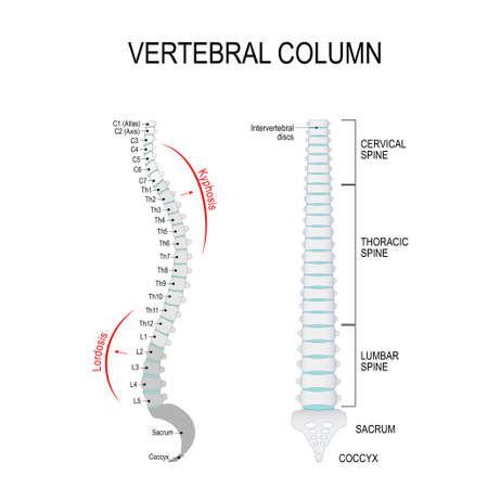 Colonna vertebrale: colonna cervicale, toracica e lombare, osso sacro e coccige.