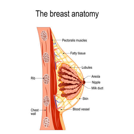Cross-section of the mammary gland. Vector diagram for medical use Illustration