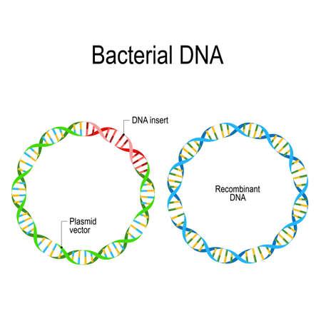 Plasmide et ADN recombinant. ADN bactérien dans lequel un fragment d'ADN étranger est inséré dans un vecteur plasmidique. Ingénierie génétique. résistance aux antibiotiques