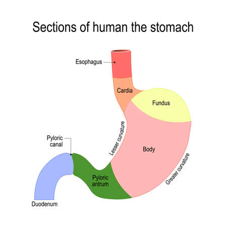 A  flat illustration for medical, science, and educational use. Detailed diagram of the structure from inside of the stomach. digestive system of the human Illustration