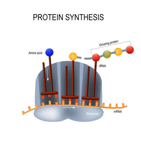 Proteinsynthese Abbildung. Vektorgrafik