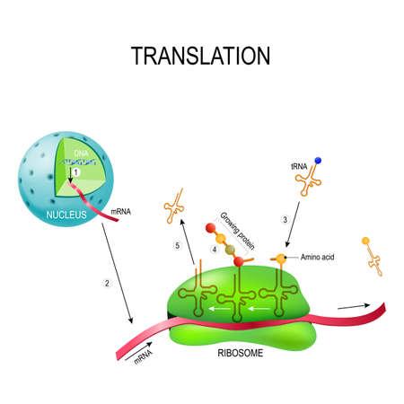 번역 (생물학적 단백질 합성). 번호 1 : 핵에서 DNA의 mRNA 합성. 2 상보적인 tRNA 안티 코돈 서열을 mRNA 코돈에 결합시킴으로써 리보솜을 해독하는 mR 일러스트