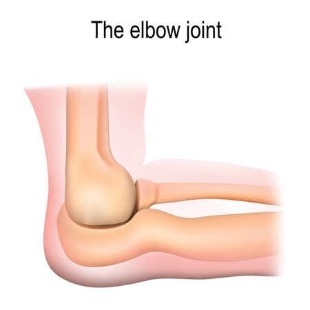 Human elbow joint anatomy. Vector diagram Vector Illustration