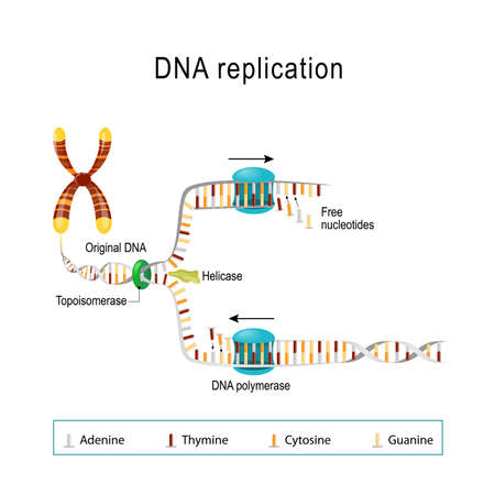 DNA replication. double helix is unwound. Each separated strand acts as a template for replicating a new strand. Free Nucleotides are matched to synthesize the new partner strands into two new double helices. Vector diagram for scientific, medical, and educational use 일러스트