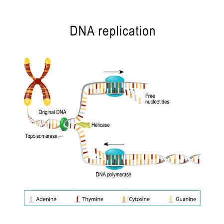 Réplication de l'ADN. la double hélice est déroulée. Chaque brin séparé sert de modèle pour la réplication d'un nouveau brin. Les nucléotides libres sont adaptés pour synthétiser les nouveaux brins partenaires en deux nouvelles doubles hélices. Diagramme vectoriel à usage scientifique, médical et éducatif Vecteurs