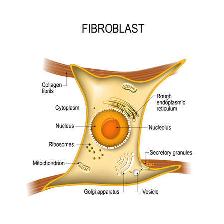 Fibroblast is a dermis cell (vital to the skin's strength and elasticity). Structure of Fibroblast cell.  Illustration