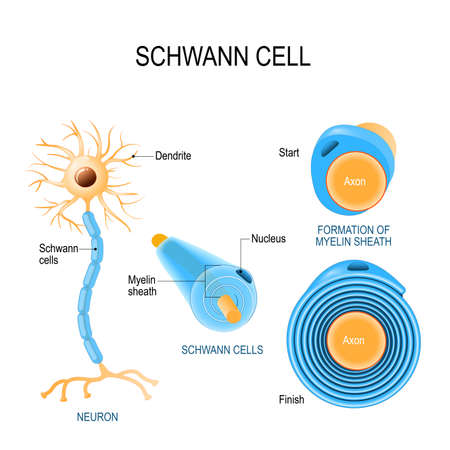 Schwann cells. Structure of neurolemmocytes. Anatomy of a typical human neuron Stock Illustratie