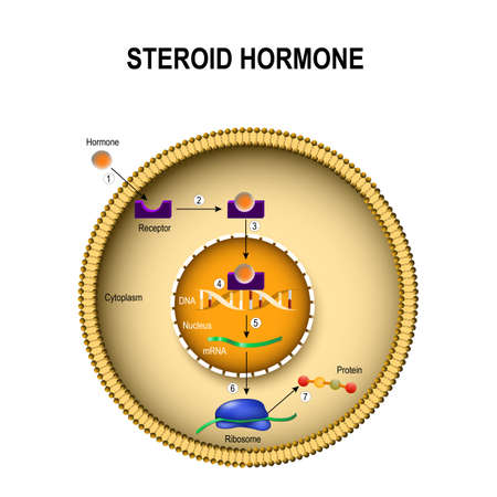 How steroid hormones work. interaction of the hormone with the intracellular receptor. Human endocrine signaling system 免版税图像 - 94877768