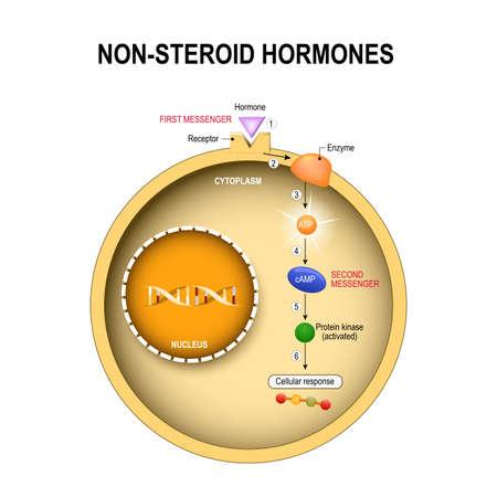 Célula animal con núcleo, citoplasma, ADN, enzima, proteína quinasa, receptor y hormona, cómo funcionan las hormonas no esteroides. Las hormonas no esteroides interactúan con los receptores en la membrana celular y activan los sistemas de mensajería secundaria que llevan a cabo sus efectos dentro de la célula. Sistema endocrino humano.