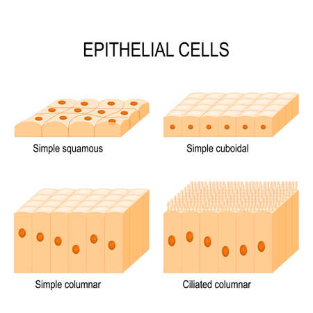 Types of epithelial cells: cilliated columnar, simple columnar, simple cuboidal, and simple squamous cells.