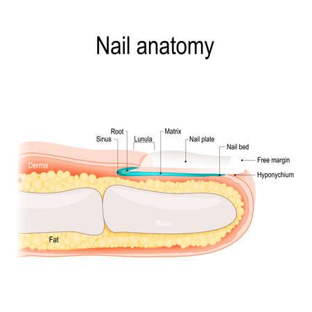 Structure of the nail. Human anatomy illustration. Stock Illustratie