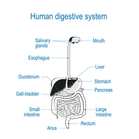 human digestive system. location of the gastrointestinal tract in the human body. text labels. black and white Vector. line illustration for your coloring. For science and educational use 写真素材 - 96684785