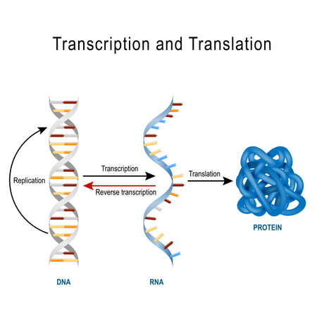 DNA Replication, Protein synthesis, Transcription and translation.  Biological functions of DNA. Genes and genomes. Genetic code Vettoriali