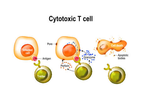 Cytotoxic T cell vector illustration Çizim