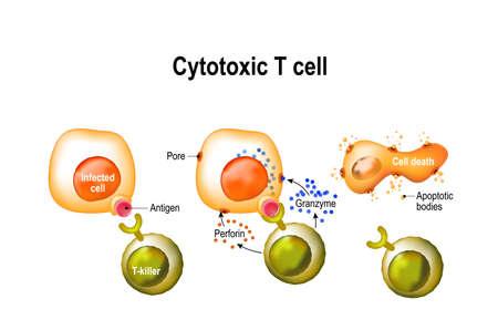 Cytotoxic T cell vector illustration Vettoriali