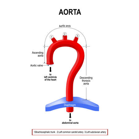 Schematic view of the aorta segments. Labeled Diagram. human anatomy Illustration