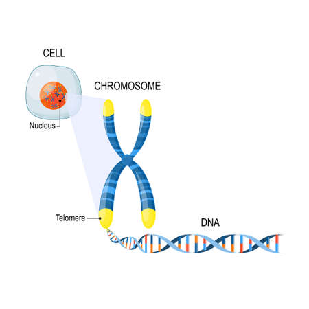 A telomere is a repeating sequence of double-stranded DNA located at the ends of chromosomes. Each time a cell divides, the telomeres become shorter. Cell Structure. The DNA molecule is a double helix. A gene is a length of DNA that codes for a specific protein. Genome Study. Cell, nucleus with chromosomes, telomeres, DNA, and gene