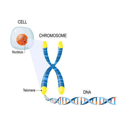Un telómero es una secuencia repetitiva de ADN bicatenario ubicado en los extremos de los cromosomas. Cada vez que una célula se divide, los telómeros se acortan. Estructura celular. La molécula de ADN es una doble hélice. Un gen es una longitud de ADN que codifica una proteína específica. Estudio del genoma. Célula, núcleo con cromosomas, telómeros, ADN y gen.