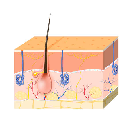 Structure of the skin. Skin layers with blood vessel, free nerve ending, pores and glands (sebaceous and sweat glands). Human anatomy. Illustration