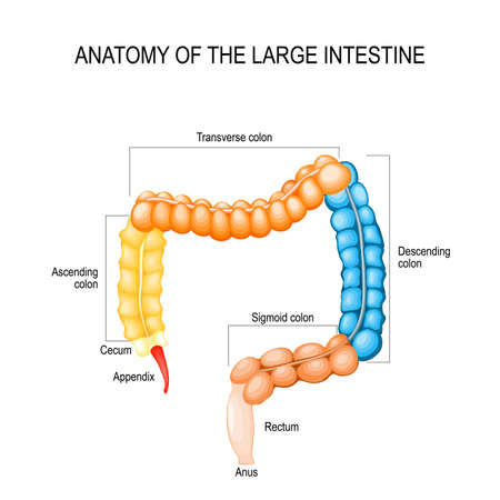 Part of Large Intestine isolated on a white background. Medical Illustration. Human Anatomy. Labeled Diagram. Human colon