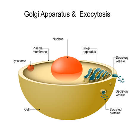 Golgi apparatus and exocytosis. Cell transports molecules out of the cell.
