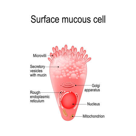 surface mucous cell is a foveolar (mucus-producing) cell that covering the inside of the stomach. Structure cell: golgi, apparatus, secretory, vesicle, mucin, rough, endoplasmic, reticulum, nucleus, mitochondrion, microvilli. Stock Vector - 100958551