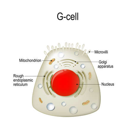 Anatomy of a G-cell. This cells are located in the gastric glands into stomach. G cell is a type of cell in the stomach and duodenum that secretes hormone gastrin. Illustration