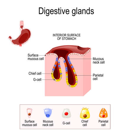 Gasric Glands. Structure of a Digestive Epithelium. Gastric glands open into the base gastric pits and into the gastric lumen. glands contain different cell populations depending on their location. mucous cell produces mucus, chief cell produces enzyme, G-cell produce hormone Ilustração