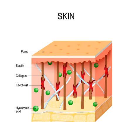 Gezonde menselijke huid met collageen- en elastinevezels, fibroblasten en hyaluronzuur. Vector diagram