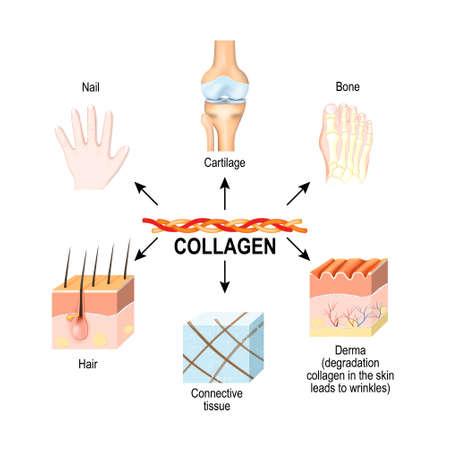 Il collagene è la principale proteina strutturale di: tessuti connettivi, cartilagini, ossa, unghie, derma e capelli. Sintesi e tipi di collagene. Illustrazione vettoriale per uso medico, scientifico ed educativo. cura della pelle