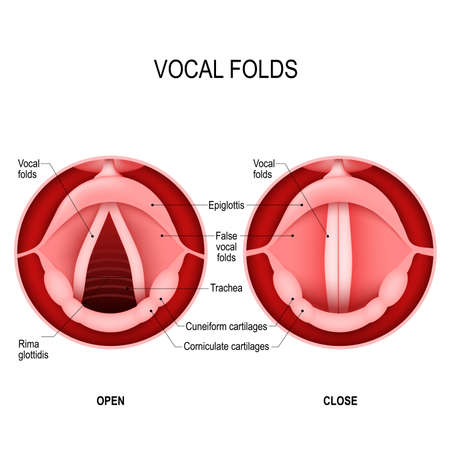 Vocal folds. The Human Voice. The vocal cords open to let air pass through the larynx, into the trachea. The vocal folds are open when we breath in and closed when we want to speak. open and closed vocal cords. voice reeds Ilustracja