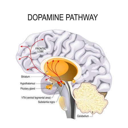 Hipoteza dopaminowa schizofrenii. dysfunkcja szlaku dopaminy. Mózg człowieka ze szlakami dopaminy. Ilustracje wektorowe