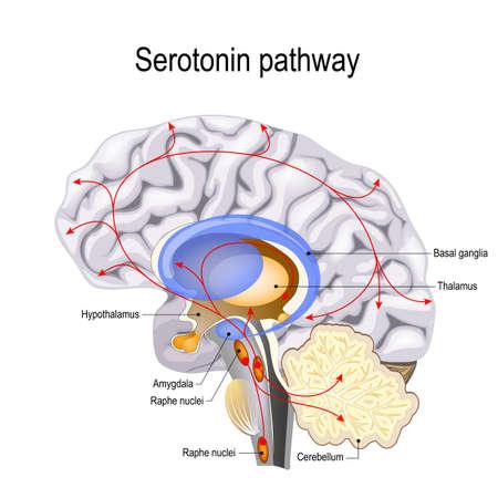 Serotonine-route. De hersenen van de mens met serotonine-routes. psychiatrische en neurologische aandoeningen. Stockfoto - 102772841