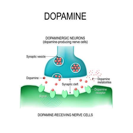 Dopamina. dwa neurony (komórki nerwowe wytwarzające dopaminę i odbierające dopaminę), receptory i szczelina synaptyczna z dopaminą. Ilustracje wektorowe