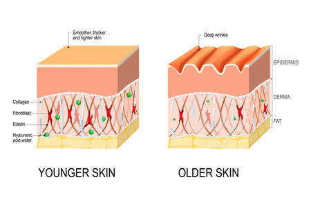 Visual representation of skin changes over a lifetime. Collagen and elastin form the structure of the dermis making it tight and plump. Fibroblasts synthesize collagen and elastin. difference between the skin of a young and elderly person. Vector illustration for medical and educational use Ilustração