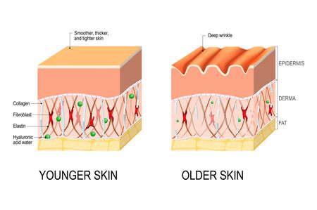 Visuele weergave van huidveranderingen gedurende een leven. Collageen en elastine vormen de structuur van de dermis waardoor deze strak en mollig wordt. Fibroblasten synthetiseren collageen en elastine. verschil tussen de huid van een jonge en oudere persoon. Vectorillustratie voor medisch en educatief gebruik