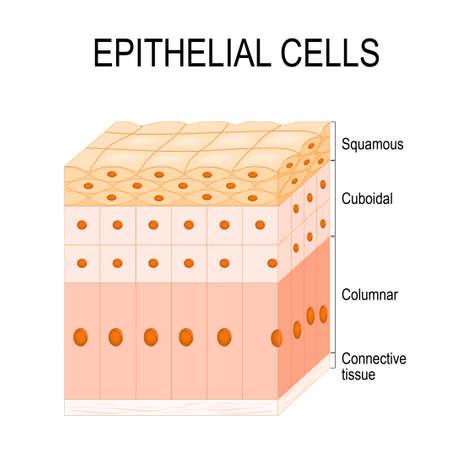 Tipos de células epiteliales: células cilíndricas ciliadas, columnares simples, cuboideas simples y células escamosas simples Ilustración de vector