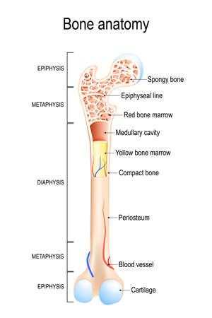 Anatomie osseuse. Structure d'un os long. illustration vectorielle à usage médical, éducatif et scientifique