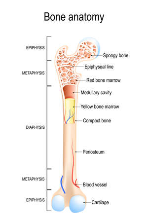 Bone anatomy. Structure of a Long Bone. vector illustration for medical, educational and science use