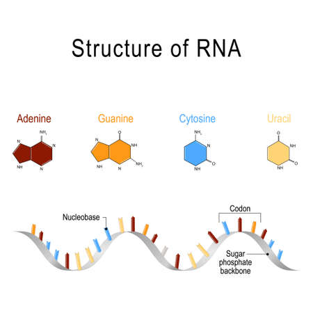 structure of RNA. vector illustration for medical, educational and science use