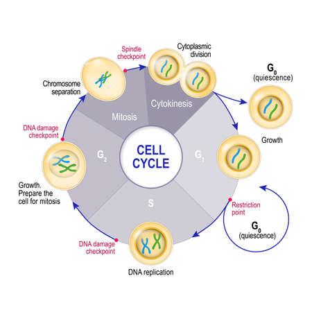 Ciclo cellulare (divisione cellulare): dalla quiescenza, crescita e replicazione del DNA alla mitosi e alla citochinesi. Punti di controllo del ciclo cellulare: danno al DNA, punto di controllo del fuso, punto di restrizione. Illustrazione vettoriale per uso educativo, medico e scientifico