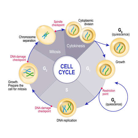 Cell Cycle (Cell division): from quiescence, Growth and DNA replication to Mitosis and Cytokinesis. Cell cycle checkpoints: DNA damage, Spindle checkpoint, Restriction point. Vector illustration for educational, medical and science use