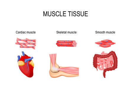 Types of muscle tissue. Skeletal muscle (elbow joint), smooth (gastrointestinal tract) and cardiac muscle (heart). Human internal organs and Muscle cells. vector illustration for medical, educational and science use